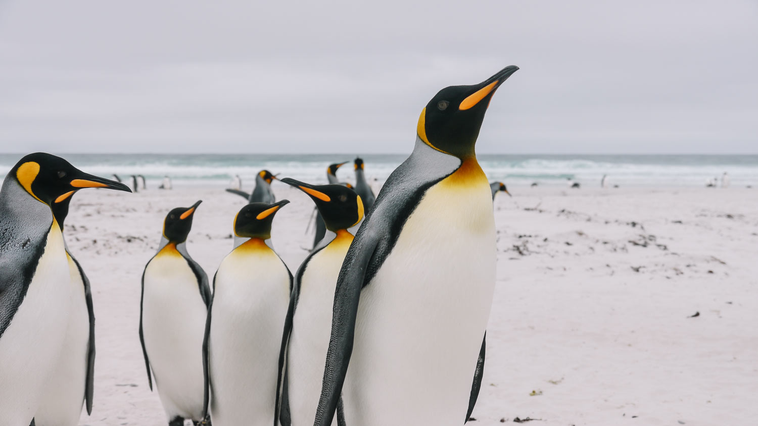 wildlife of the Falkland and ascension islands penguins and green turtles